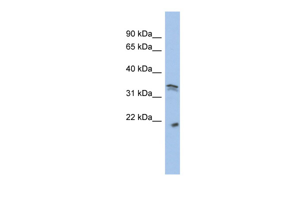 CDC2 antibody - middle region (AVARP01006_P050) in Human SHSY5Y cells using Western Blot