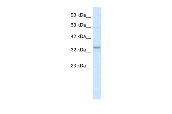 CRKL antibody - middle region (AVARP01043_P050) in Human K562 cells using Western Blot