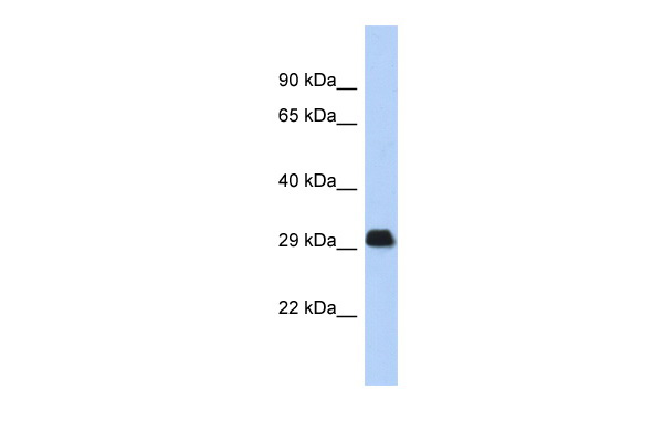 BCL2L1 antibody - N-terminal region (AVARP02002_P050) in Human Thymus cells using Western Blot