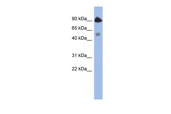 BCL2L13 antibody - middle region (AVARP02032_P050) in Human NCI-H226 cells using Western Blot