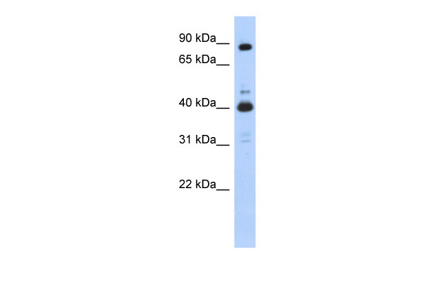 CDK9 antibody - N-terminal region (AVARP03004_P050) in Human 293T cells using Western Blot