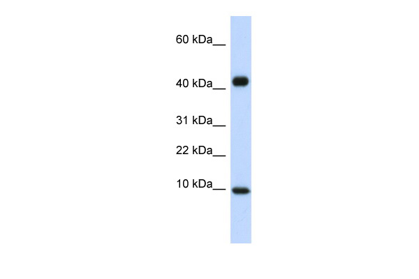 CCL8 antibody - middle region (AVARP07026_P050) in Human Heart cells using Western Blot