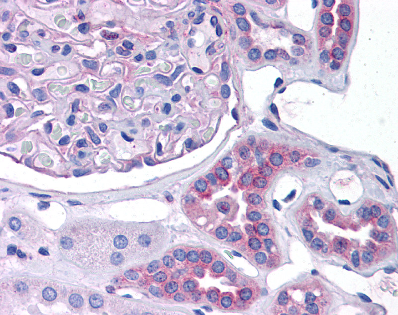 CCL2 antibody - middle region (AVARP07046_P050) in Human Kidney cells using Immunohistochemistry