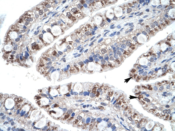 CCL18 antibody - middle region (AVARP07049_P050) in Human Intestine cells using Immunohistochemistry