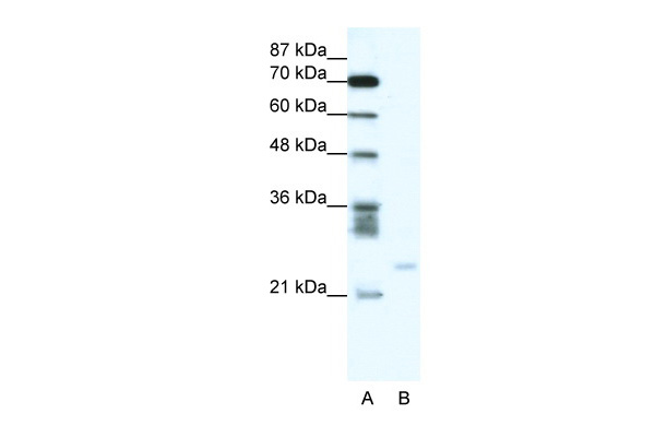 BCL2A1 antibody - C-terminal region (AVARP09047_P050) in Human Jurkat cells using Western Blot