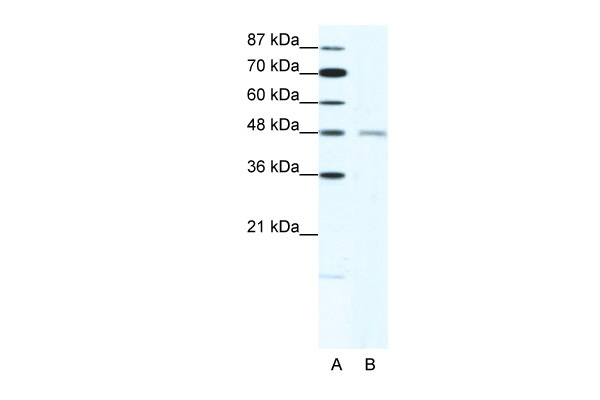 CHRND antibody - N-terminal region (AVARP13022_T100) in Human HepG2 cells using Western Blot