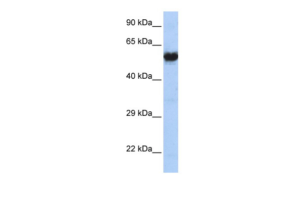 CHRNG antibody - N-terminal region (AVARP13024_P050) in Human MCF-7 cells using Western Blot