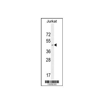 CD34 antibody - center region (OAAB00683) in Jurkat cells using Western Blot