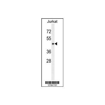 CNR2 antibody - C-terminal region (OAAB00691) in Jurkat cells using Western Blot