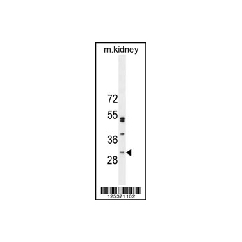C6orf62 antibody - center region (OAAB01018) in Mouse Kidney cells using Western Blot