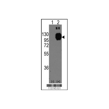 CDH13 antibody - C-terminal region (OAAB01184) in CDH13 cells using Western Blot