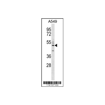 CD14 antibody - C-terminal region (OAAB03446) in A549 cells using Western Blot