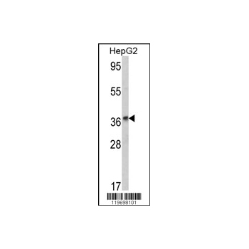 ADH1B antibody - center region (OAAB03812) in HepG2 cells using Western Blot