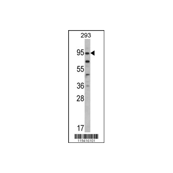 CD248 antibody - C-terminal region (OAAB03838) in 293 cells using Western Blot