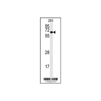 CAMK2A antibody - C-terminal region (OAAB04438) in 293 cells using Western Blot