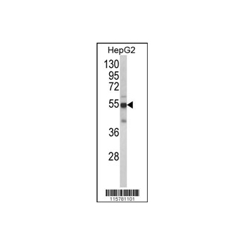 CYP2J2 antibody - N-terminal region (OAAB04481) in HepG2 cells using Western Blot