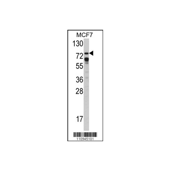 BRAF Antibody (OAAB04863) in MCF7 cells using Western Blot