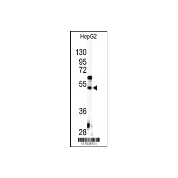 AGT antibody - C-terminal region (OAAB04914) in HepG2 cells using Western Blot