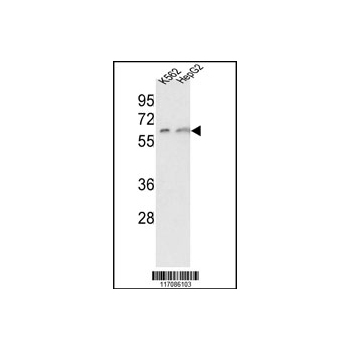 CYP7A1 antibody - C-terminal region (OAAB05044) in K562, HepG2 cells using Western Blot