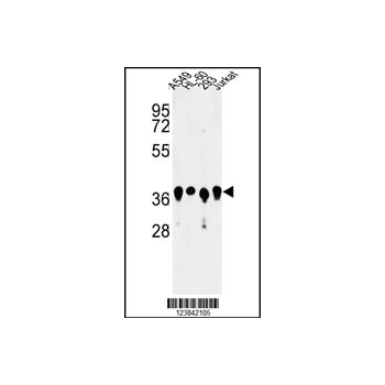 ARGLU1 antibody - N-terminal region (OAAB05882) in A549, HL-60, 293, Jurkat cells using Western Blot