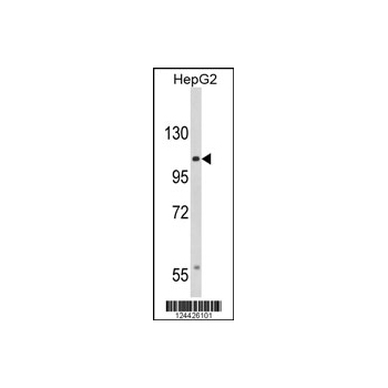 CACNA2D3 antibody - C-terminal region (OAAB06339) in HepG2 cells using Western Blot