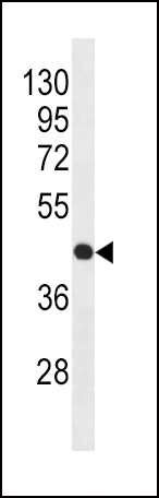 Beta - actin antibody (Ascites) (OAAB06619) in HL-60 cells using Western Blot