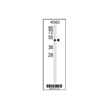 ACTB antibody (Ascites) (OAAB06673) in K562 cells using Western Blot