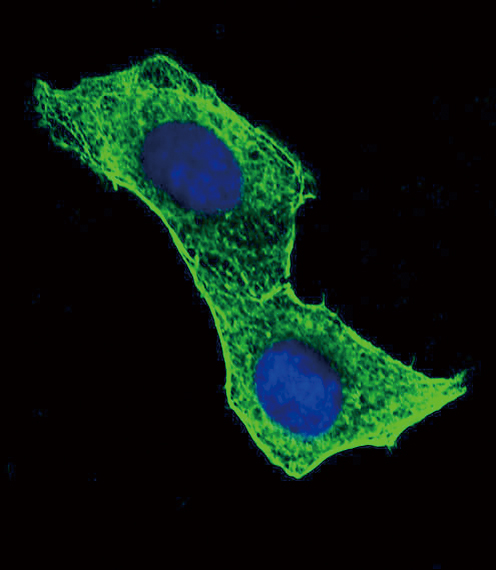 Beta - Actin antibody (OAAB06674) in Hela cells using Immunofluorescence