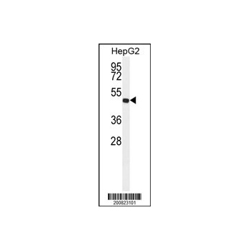 ALDH3A2 antibody (Ascites) (OAAB06692) in HepG2 cells using Western Blot