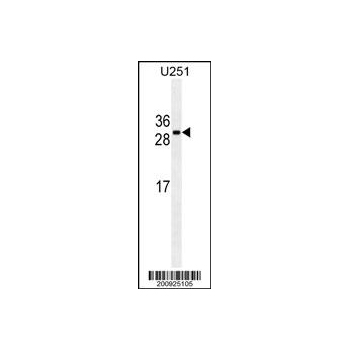 CDCA8 antibody (OAAB06743) in U251 cells using Western Blot