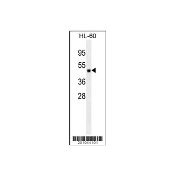 ATG4D antibody (Ascites) (OAAB06789) in HL-60 cells using Western Blot