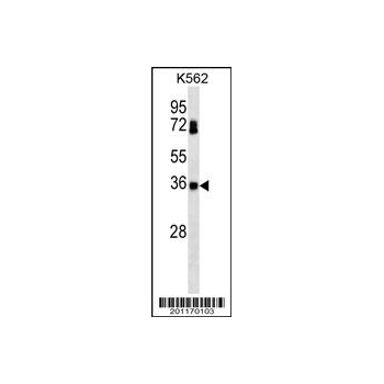 CSNK2B antibody (OAAB06827) in K562 cells using Western Blot