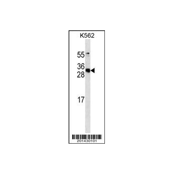 APCS antibody (Ascites) (OAAB06915) in K562 cells using Western Blot