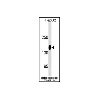 ANPEP/CD13 antibody (OAAB07073) in HepG2 cells using Western Blot