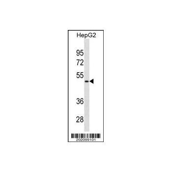 AMBP antibody - N - terminal region (OAAB07101) in HepG2 cells using Western Blot