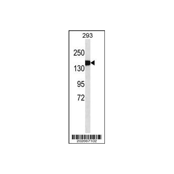 COL3A1 antibody (OAAB07144) in 293 cells using Western Blot