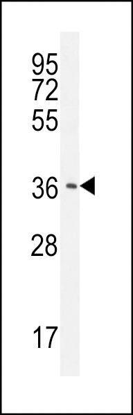 CAF - 1 antibody - N - terminal region (OAAB07354) in HepG2 cells using Western Blot
