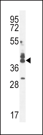 CUZD1 antibody - C - terminal region (OAAB07384) in 293 cells using Western Blot