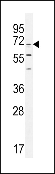 CPSF3L antibody - N - terminal region (OAAB07406) in K562 cells using Western Blot
