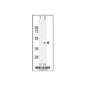 COCH antibody - C - terminal region (OAAB07578) in 293 cells using Western Blot