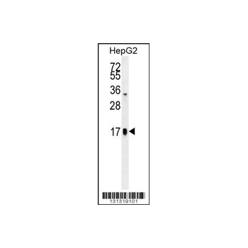 TSH - alpha antibody - C - terminal region (OAAB08168) in HepG2 cells using Western Blot