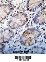 C1QC antibody - center region (OAAB08173) in Human Rectum cells using Immunohistochemistry