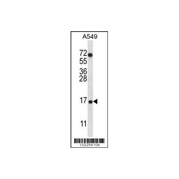 COX7A2L antibody - center region (OAAB08599) in A549 cells using Western Blot