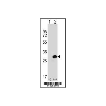 CA1 antibody - N - terminal region (OAAB08926) in 293 cells using Western Blot