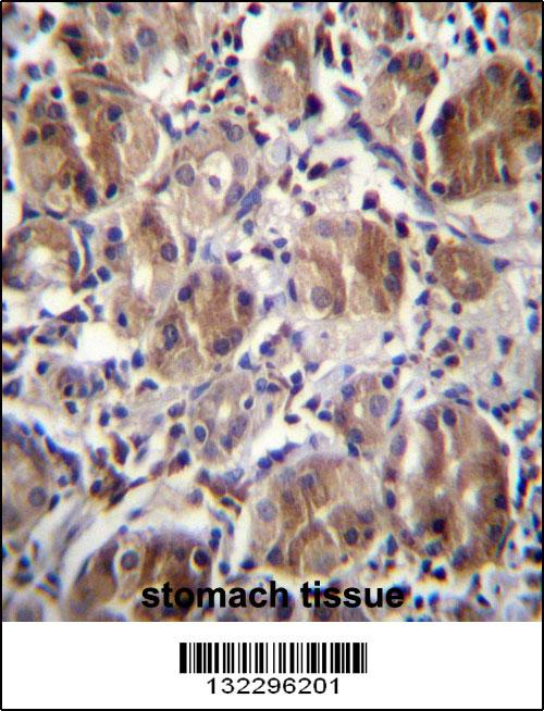 DULLARD antibody - center region (OAAB09086) in Human Stomach cells using Immunohistochemistry
