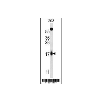 MLM antibody - C - terminal region (OAAB09170) in 293 cells using Western Blot