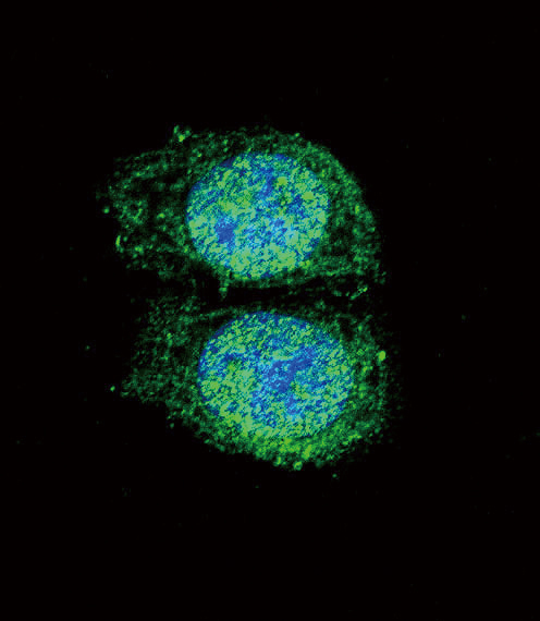 Bcl - 2 antibody (BH3 Domain Specific) (OAAB09330) in Hela cells using Immunofluorescence