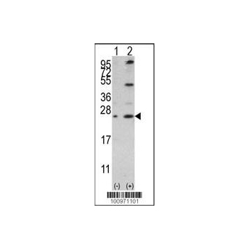 Bcl - w antibody (BH3 Domain Specific) (OAAB09352) in 293 cells using Western Blot