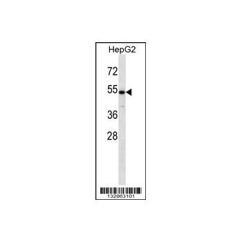 CHST9 antibody - N - terminal region (OAAB09491) in HepG2 cells using Western Blot