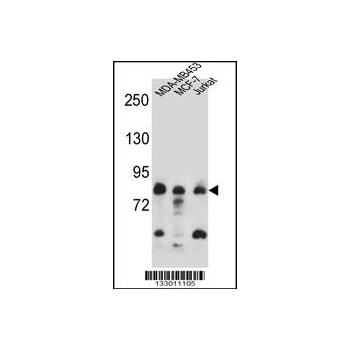 AFG3L2 antibody - N - terminal region (OAAB09524) in Human cells using Western Blot